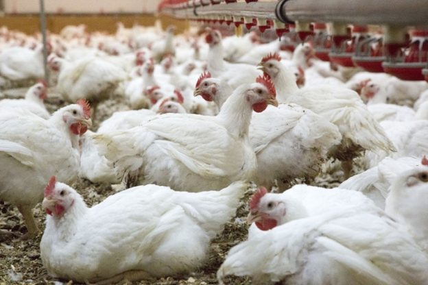 Creció un 6,6% la producción avícola en 2019
