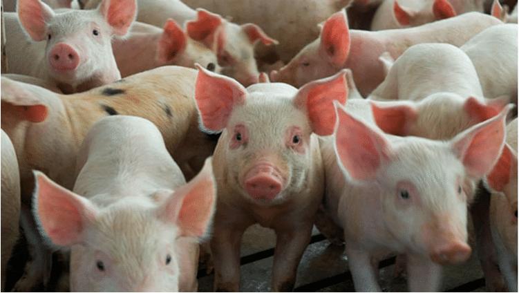 Efecto peste porcina africana: cómo esta situación puede beneficiar a la Argentina