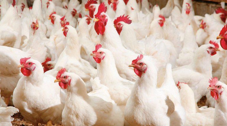 Alternativas para reducir riesgos de infección por Salmonellas en planteles de aves