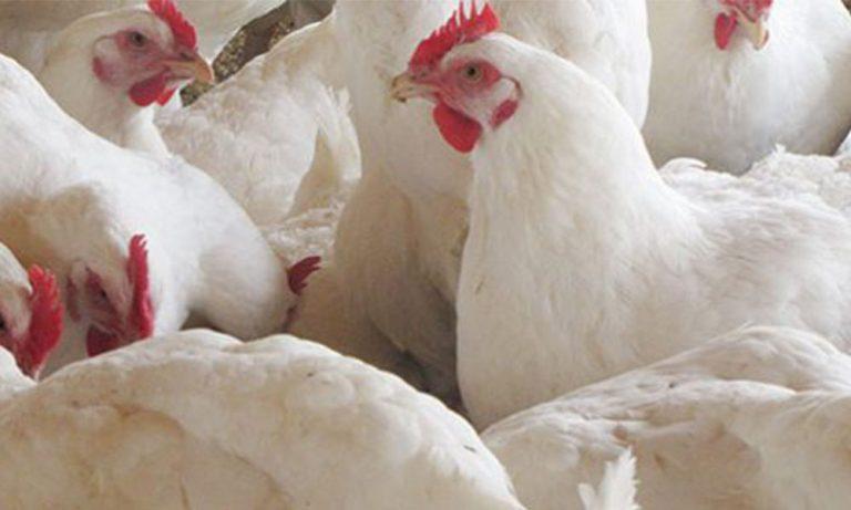Salmonella y Campylobacter: Evaluación de riesgos hacia una carne de ave segura