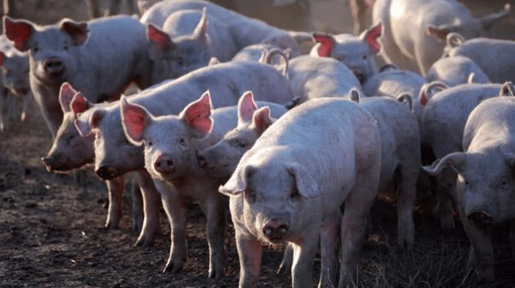 El sector porcino impulsó el crecimiento de la producción de carne en la Argentina entre 2008 y 2019