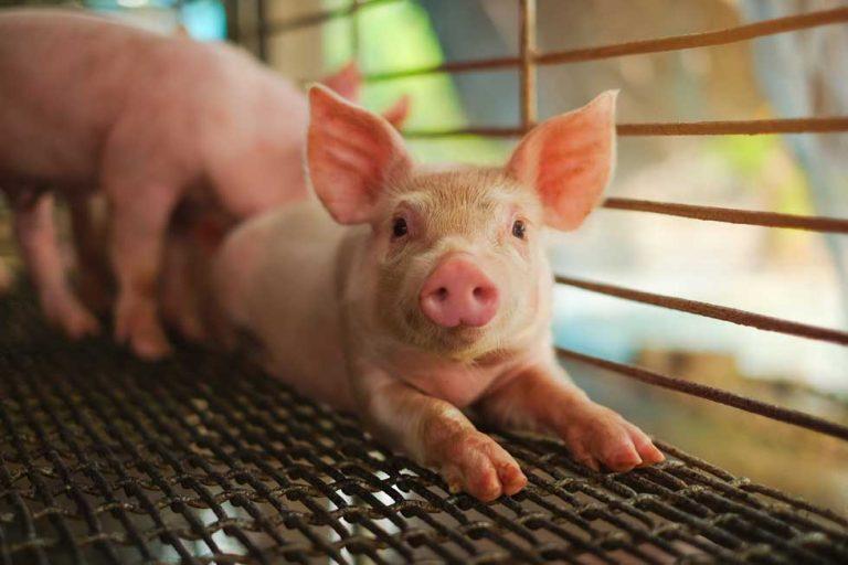 Lo que debemos saber sobre la nueva gripe porcina reportada en China