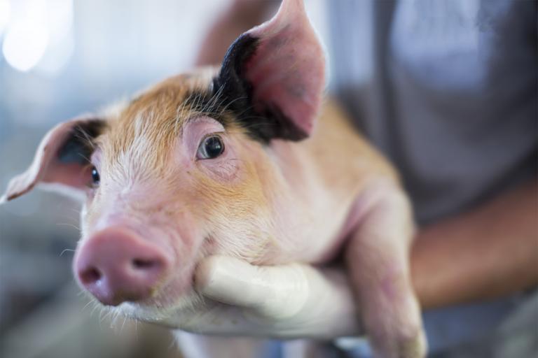 Farmabase anuncia Farma-Talks: el mayor evento técnico en línea de porcicultura