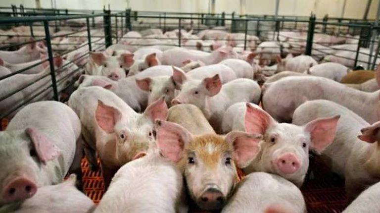 Expectativa e incertidumbre de los productores porcinos por el desembarco de inversiones provenientes de China