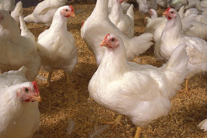 Un vistazo del mercado de pollos parrilleros en USA