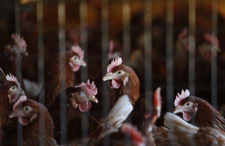 España toma precauciones por brotes de influenza aviar en Europa