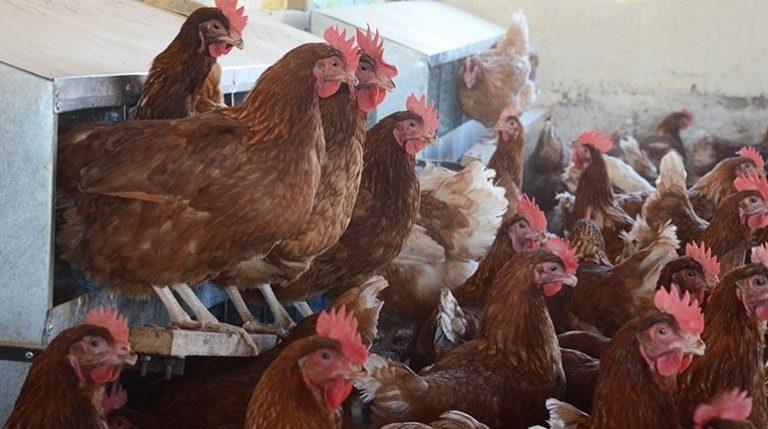 Bolivia: Baja la producción de pollo y sube el precio de la carne