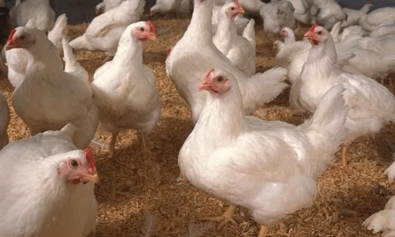 Canadá ofrece ayuda a productores de la industria avícola y de lácteos