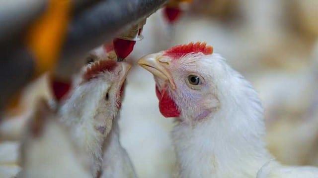 Senasa: Prevención y detección temprana en enfermedades que afectan a la producción avícola