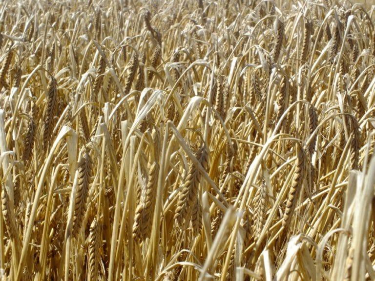 La cebada mantiene el optimismo exportador y de producción