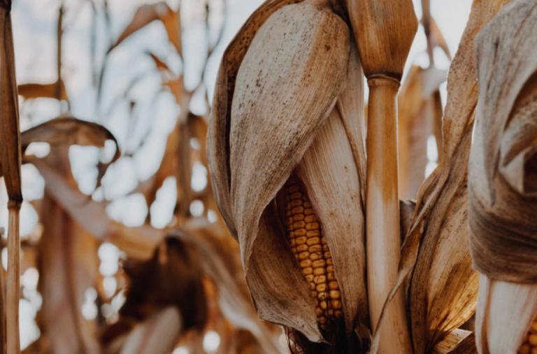 Maíz tardío: ¿cosechar o esperar?