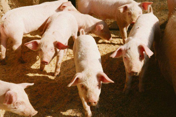 Créditos para inversión: la oportunidad para avícolas y porcinos