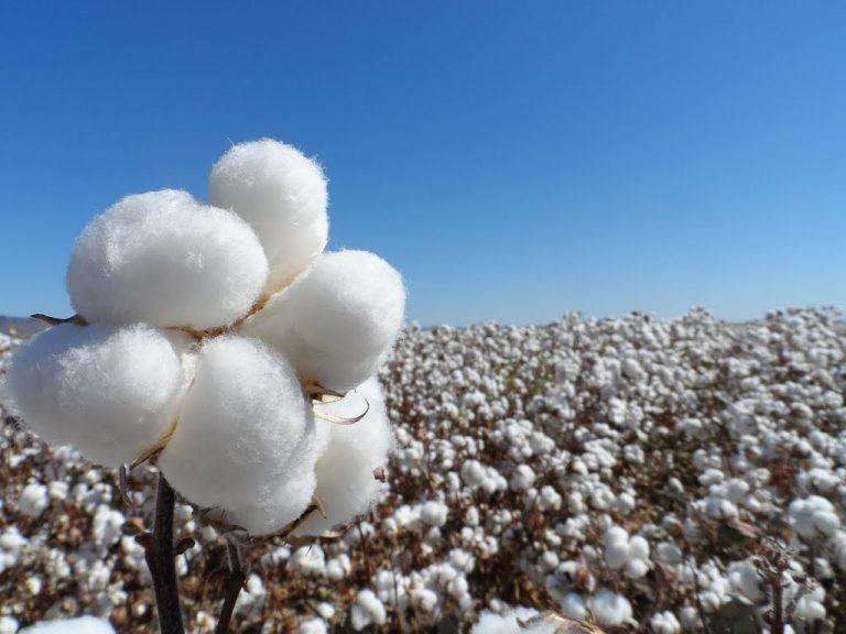 Avanza la producción de algodón en el Norte y los productores apuestan a la tecnología de punta